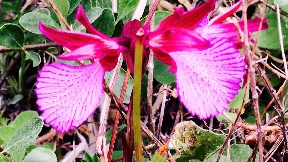 Le orchidee sono le piante più evolute esistenti