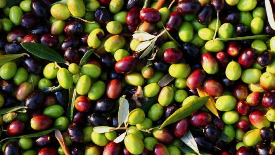 ulivi saraceni olio dop chiaramonte